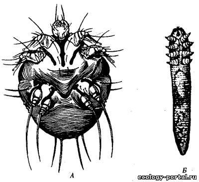 внешние паразиты человека