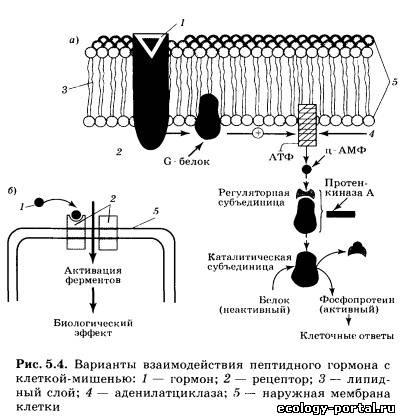 Некоторые пептидные гормоны