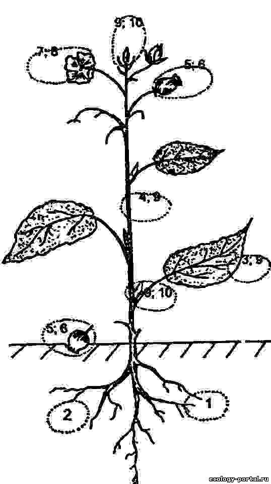 Семяеды